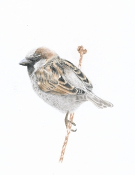 House Sparrow – Photo taken in Great Britain